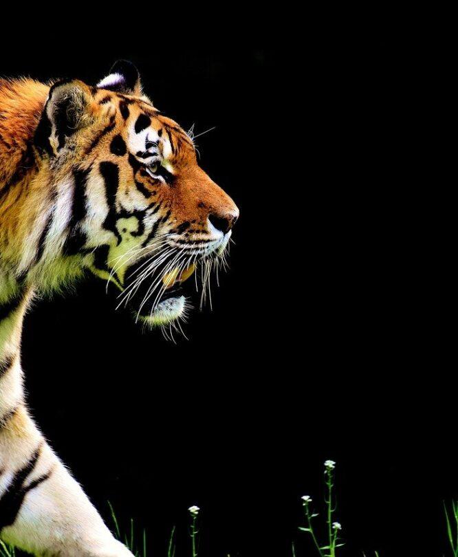 Автоматический тигр. Веб рассказ