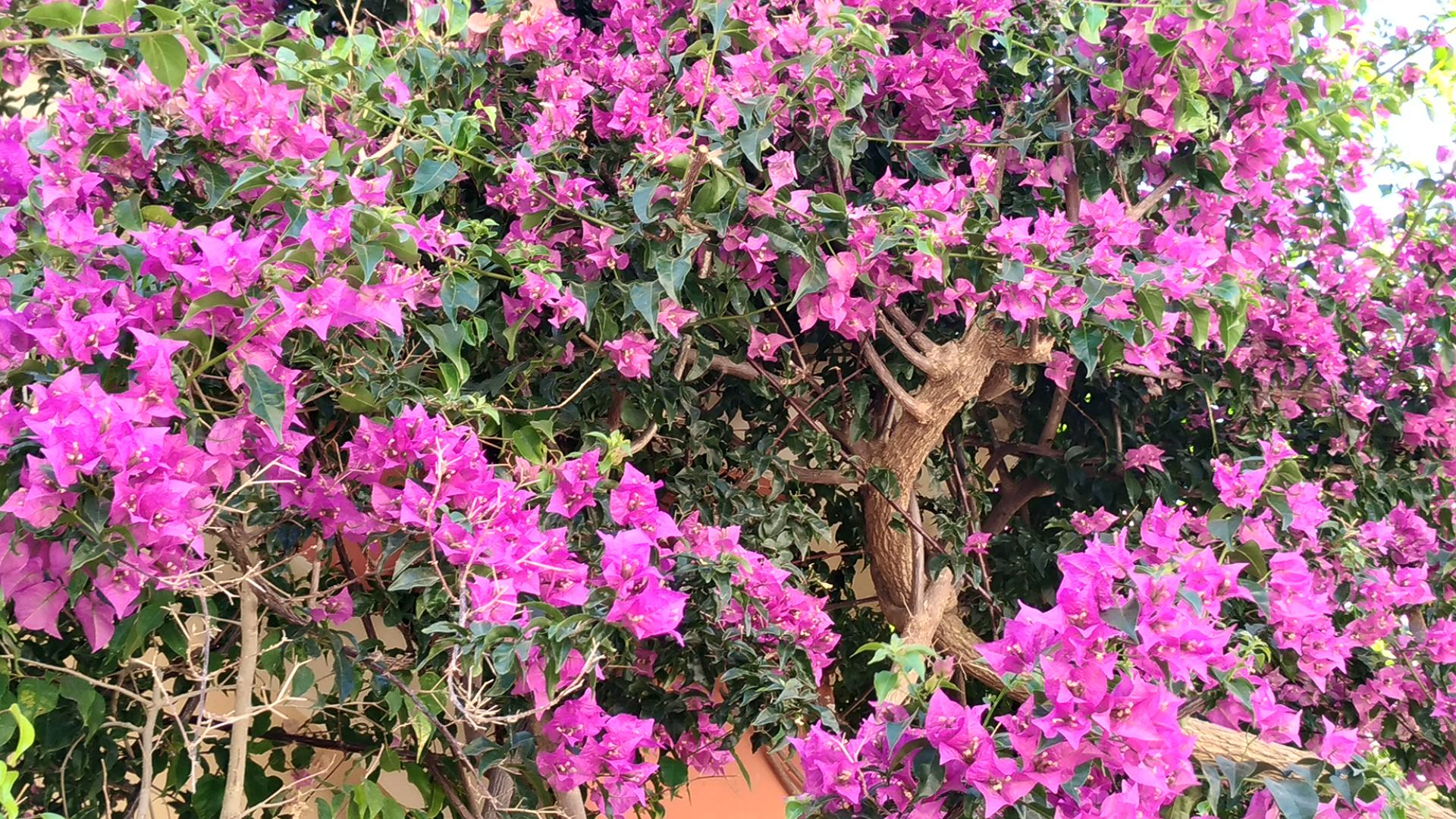 Растительность Греции. Бугенвиллия