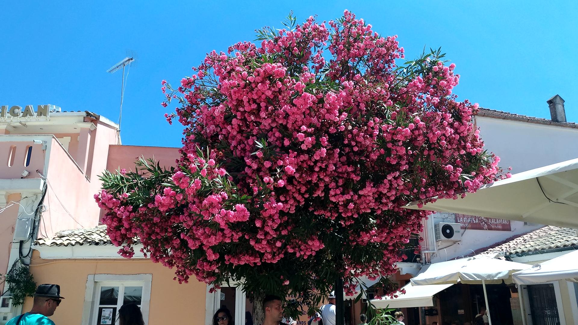 Растительность Греции. Рододендрон